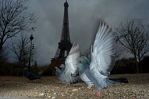 Flock of Feral pigeons (Columba livia)  in front of the Eiffel tower at dusk, Paris. France, November .  -  Laurent Geslin