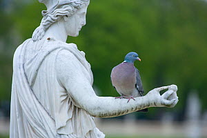 Wood pigeon (Columba palumbus) perched on the arm of a classical stone statue, urban park, Paris, France, April. - Laurent Geslin