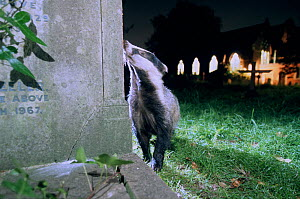 Urban Badger (Meles meles) in graveyard at night, London, England, UK  -  Laurent Geslin