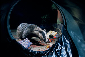 Urban Badger (Meles meles) scavenging litter from overturned dustbin at night, London, England, UK  -  Laurent Geslin