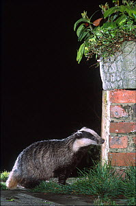 Urban badger (Meles meles) exploring an urban garden at night, London, England, UK  -  Laurent Geslin