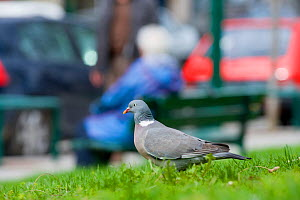 Wood pigeon (Columba palumbus) on grass near busy road, Paris, France. April. - Laurent Geslin