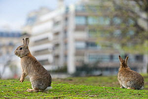 Rabbits on grass in park, near the Arc de Triomphe, Paris, France, April 2010.  -  Laurent Geslin