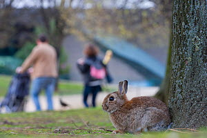 Rabbit on grass in park, with people walking behind, near the Arc de Triomphe, Paris, France, April 2010.  -  Laurent Geslin