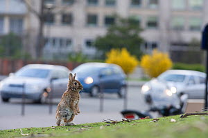 Rabbit on grass in park, with traffic behind,  near the Arc de Triomphe, Paris, France, April 2010.  -  Laurent Geslin