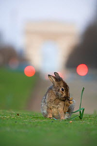 Rabbit  grooming, on grass in park, with the Arc de Triomphe behind, Paris, France, April 2010. - Laurent Geslin