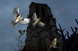Common sparrows (Passer domesticus) small flock flying, Paris. France, November. - Laurent Geslin