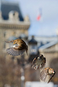 Common sparrows (Passer domesticus) two females and a male flying in urban park, Paris. France, November.  -  Laurent Geslin