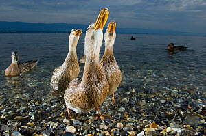 Mallard ducks (Anas platyrhynchos) females looking skyward together on the shore of Lake of Geneva, France, June. - Laurent Geslin