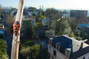 Fire bug (Pyrrhocoris apterus) on branch of tree, with view of Paris behind, France. April 2010.  -  Laurent Geslin
