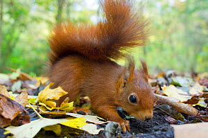 Red squirrel (Sciurus vulgaris) foraging for buried nuts on woodland floor, autumn, France.  -  Laurent Geslin