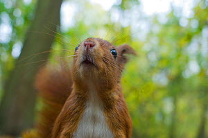 Red squirrel (Sciurus vulgaris) head portrait sniffing the air, autumn, France.  -  Laurent Geslin