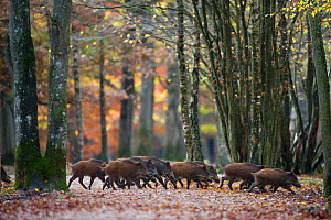 Group of Wild Boar (Sus Scrofa) trotting through forest of Rambouillet, near Paris, France. Autumn.  -  Laurent Geslin