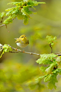 Wood Warbler (Phylloscopus sibilatrix) perched on branch in Oak (Quercus) woodlands, Snowdonia NP, Wales, UK, May. - Andy Rouse