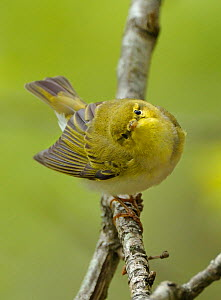 Wood Warbler (Phylloscopus sibilatrix) close up, perched on branch in Oak (Quercus) woodlands, Snowdonia NP, Wales, UK, May. - Andy Rouse