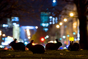 European rabbits (Oryctolagus cuniculus) at night in urban park near l'Arc de Triomphe, with Champs Elys�es in background, Paris, France. HIGHLY COMMENDED: Urban Wildlife category, Wildlife Photograph...  -  Laurent Geslin