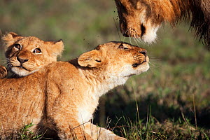 African lion cubs (Panthera leo) aged 9-12 months playing with an adolescent male, Masai Mara National Reserve, Kenya. April.  -  Anup Shah