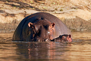 Hippopotamus (Hippopotamus amphibius) mother and calf aged less than 1 month, partially submerged in water. Masai Mara National Reserve, Kenya. February.  -  Anup Shah