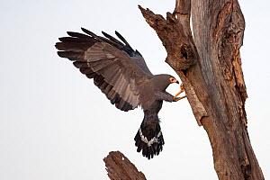 African Harrier-Hawk (Polyboroides typus) adult using its legs to probe into cavity nests for young of birds such as swifts and weavers. Masai Mara National Reserve, Kenya. February. - Anup Shah