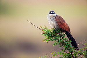 White-browed Coucal (Centropus superciliosus)perched on branch, Masai Mara National Reserve, Kenya. February. - Anup Shah