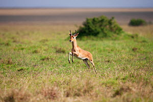 Bohor Reedbuck (Redunca redunca) running across the savanna, Masai Mara National Reserve, Kenya. February.  -  Anup Shah