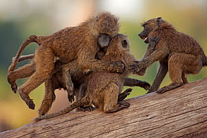 Olive baboon juveniles (Papio cynocephalus anubis) playing together, Masai Mara National Reserve, Kenya. March. - Anup Shah