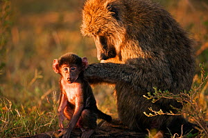 Olive baboon (Papio cynocephalus anubis) grooming a male baby aged 3-6 months  Masai Mara National Reserve, Kenya. March. - Anup Shah