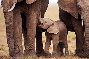 African elephant (Loxodonta africana) calf aged 3-6 months wanting to suckle, Masai Mara National Reserve, Kenya. March.  -  Anup Shah