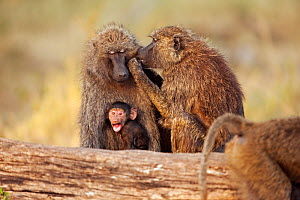 Olive baboons (Papio cynocephalus anubis) grooming one another, with baby sitting alongside adults. Masai Mara National Reserve, Kenya. March. - Anup Shah