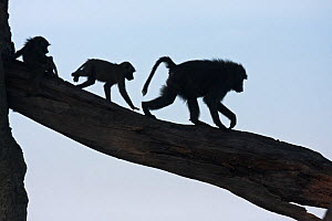 Olive baboons (Papio cynocephalus anubis) silhouetted and walking along a branch, Masai Mara National Reserve, Kenya. March.  -  Anup Shah