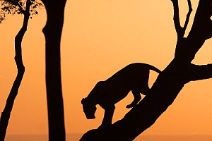African lioness (Panthera leo) silhouetted climbing down a tree at dawn, Masai Mara National Reserve, Kenya. March.  -  Anup Shah