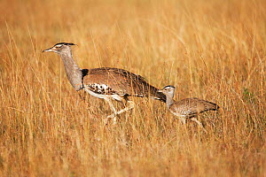 Kori bustard (Ardeotis kori) female walking with one chick, Masai Mara National Reserve, Kenya. March. - Anup Shah