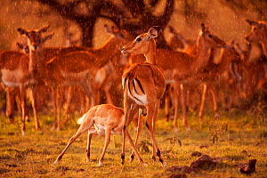 Impala herd (Aepyceros melampus) and female with suckling fawn in late afternoon rain, Masai Mara National Reserve, Kenya. March. - Anup Shah