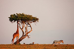 Southern / Masai giraffe (Giraffa camelopardalis tippelskirchi) feeding on tree while Plains / Common zebra passes by (Equus quagga burchellii). Masai Mara National Reserve, Kenya. March.  -  Anup Shah