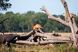 African lions (Panthera leo) climbing fallen tree in attempt to escape from herd of Cape Buffalo (Syncerus caffer) Masai Mara National Reserve, Kenya. March. - Anup Shah