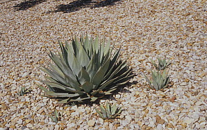 Vegetative or asexual reproduction showing offshoots from rhizomes of the Century plant (Agave chrysantha) Arizona, USA.  -  Visuals Unlimited