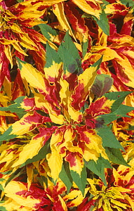 Variegated leaves of Joseph's coat (Amaranthus tricolor).  -  Visuals Unlimited