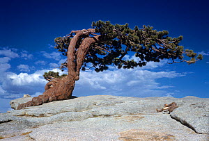 Windswept Jeffrey pine tree (Pinus jeffreyi), wind-sculpted flag or banner krummholz tree, growing on a granite dome in the Sierra Nevada Mountains of California, USA. - Visuals Unlimited