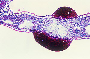 Cross-section of Sedge (Carex sp) leaf infected by the Smut fungus (Schizonella sp). LM X65  -  Visuals Unlimited