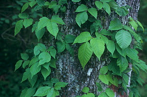 Poison ivy (Toxicodendron radicans) growing up a tree trunk, North America.  -  Visuals Unlimited