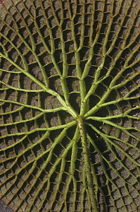 The underside of leaf of the Santa Cruz Water Lily (Victoria cruziana) Paraguay, South America. - Visuals Unlimited
