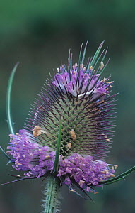 Teasel (Dipsacus sylvestris) flowers, North America. - Visuals Unlimited