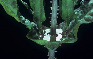 Close-up of water trapped by the opposite leaf arrangement on the Teasel (Dipsacus sylvestris) stem from which the plants absorb nutrients from drowned insects, North America. - Visuals Unlimited