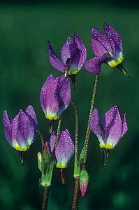 Jeffrey's / Tall Mountain shooting star (Dodecatheon jeffreyi), Primulaceae, Western North America. - Visuals Unlimited