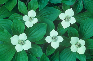 Bunchberry / Dwarf dogwood (Cornus canadensis) flowering on the forest floor, North America. - Visuals Unlimited