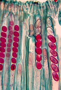 Ascospores in the asci of the Cup mushroom (Peziza sp), Ascomycetes. LM X170. - Visuals Unlimited