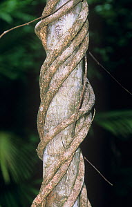 Close-up of a liana vine on a tropical rainforest tree trunk. - Visuals Unlimited