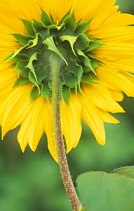 Sepals and the underside of the petals of the Sunflower (Helianthus annuus). - Visuals Unlimited
