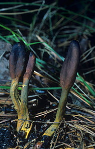 Earth tongue mushrooms (Cordyceps ophioglossoides) Ascomycetes, North America. - Visuals Unlimited