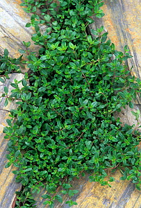 Thyme (Thymus vulgaris) growing between paving stones  -  Visuals Unlimited